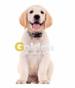 caracteristicas golden retriever