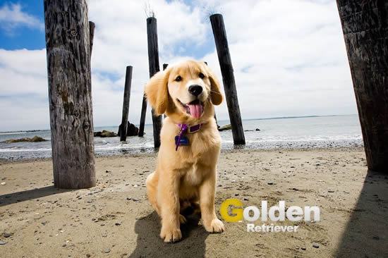 golden retriever en la playa