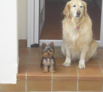 yorkshire terrier y golden retriever