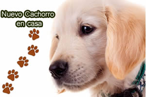 cachorro golden en casa