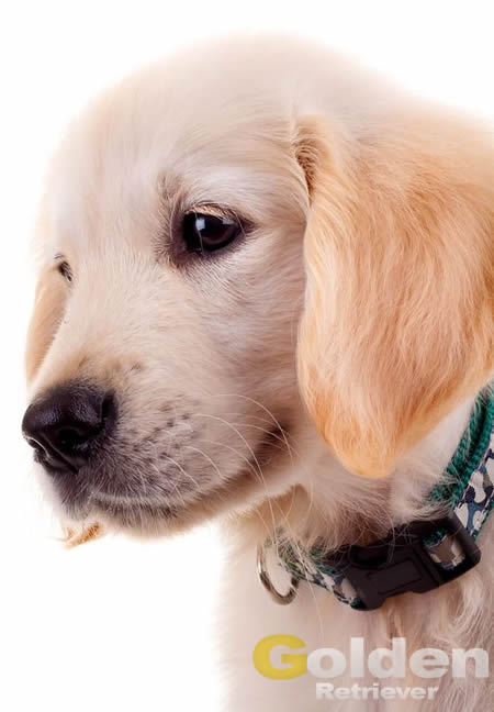 cachorro de golden retriever