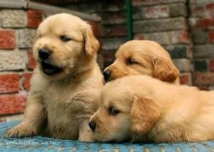 comprar cachorros golden retriever