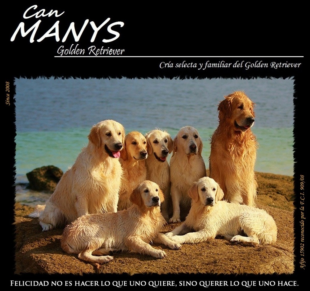 criadero golden retriever can manys