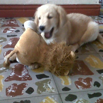 foto macho golden retriever