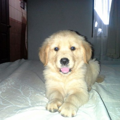 foto hembra golden retriever