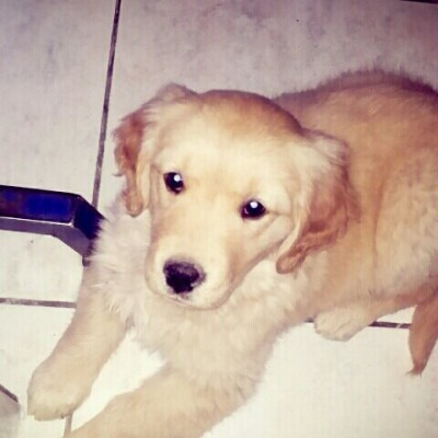 hembra golden retriever