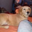 vendo cachora golden de 8 meses