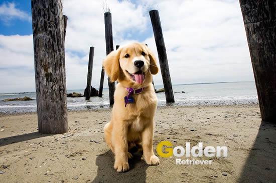 golden retriever en la playa