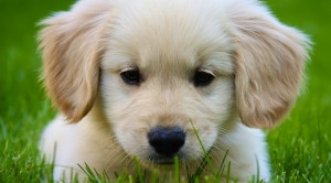 cachorro golden retriever