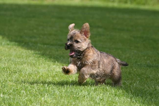 cachorro de cairn terrier