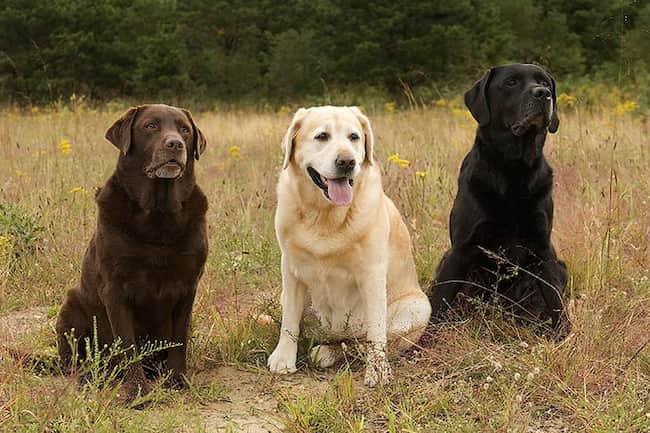 tres perros labrador retriever